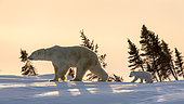 Polar bear (Ursus maritimus), 3 months cub following his mum up on a ridge at sunset. Churchill, MB, Canada