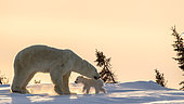 Polar bear (Ursus maritimus), 3 months cub with his mum up on a ridge at sunset. Churchill, MB, Canada