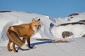 Red fox (Vulpe vulpes) A red fox climbing a snowy hill before the blizzard. Churchill, MB, Canada.