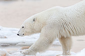 Polar bear (Ursus maritimus), Polar bear walking along the pack ice. Churchill, MB, Canada
