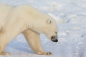 Polar bear (Ursus maritimus), polar bear walking in the snow. Churchill, MB, Canada.