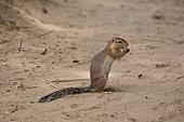 One Unstriped Ground squirrel (Xerus rutilus), Samburu Game Reserve, Kenya