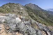 Puya (Puya alpestris subsp. zoellneri), Bromeliaceae endemic to Chile, Portezuelo de Ocoa, National Park La Campana, V Region of Valparaiso, Chile