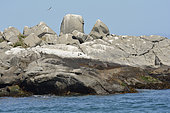 Humboldt Penguins (Spheniscus humboldti), Cachagua Islet Nature Reserve, V Valparaiso Region, Chile