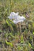Don Diego de la noche (Oenothera acaulis), Onagraceae endemic to Chile, medicinal plant, Aguas Claras Park, Cachagua, V Region of Valparaiso, Chile