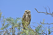 Burrowing Owl (Athene cunicularia) on a branch, ca. of Vicuña, Elqui, IV Region of Coquimbo, Chile