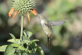 Oasis Hummingbird (Rhodopis vesper), male, Azapa Valley, ca. of Arica, XV Region of Arica and Parinacota, Chile