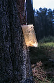 Maritime pine (Pinus pinaster), resin extraction with plastic bags. Resin is usually collected by causing minor damage to the tree by making a hole far enough into the trunk to puncture the vacuoles, to let sap exit the tree, known as tapping, and then letting the tree repair its damage by filling the wound with resin. This usually takes a few days. Then, excess resin is collected.Turpentine is the volatile oil distilled from pine resin, which itself is obtained by tapping trees of the genus Pinus. The solid material left behind after distillation is known as rosin. Both products are used in a wide variety of applications. Traditionally, turpentine has been employed as a solvent or cleaning agent for paints and varnishes and this is still often the case today, particularly in those countries where the pine trees are tapped. There are also some specialized uses, in the pharmaceutical industry, for example. Portugal accounts for the greater part of world trade in gum turpentine but volumes have decreased in recent years as a result of falling resin production.The pine resin is antimicrobial and works to protect the plant from disease. Those same components can help to fight bacteria and fungus on our bodies, as well. Portugal