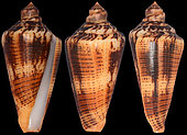 Magician's cones (Conus magus cirace) New Caledonia