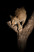 Leopard (Panthera pardus) in a tree at night. Sabi Sand, South Africa.