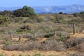 Meerkats (Suricata suricatta), adult, group, standing upright, alert, Oudtshoorn, Western Cape, South Africa, Africa