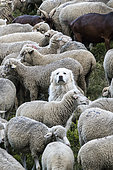 Pyrenean Mountain Dog and flock of sheep in an alpine pasture, Queyras Regional Nature Park, Alps, France