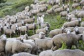 Patou et troupeau de moutons dans un alpage, Parc naturel régional du Queyras, Alpes, France