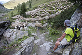 Shepherd with its Pyrenean Mountain Dogs and flock in an alpine pasture, Queyras Regional Nature Park, Alps, France