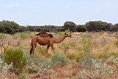 Dromedary (Camelus dromedarius), Kata Tjuta, Centre Rouge, NT, Australia