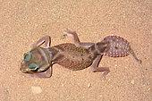Smooth knob-tailed gecko (Nephrurus levis), Coral Bay, WA, Australia