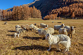 Great Pyrenees Dog protecting the flock against wolves, Averolle (Bessans), Haute-Maurienne, Alps, France