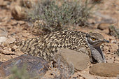 Houbara Bustard (Chlamydotis undulata) female hatching at nest in the steppe, Morocco