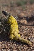 Moroccan Spiny-Tailed Lizard (Uromastyx acanthinurus), Morocco