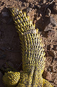 Moroccan Spiny-Tailed Lizard (Uromastyx acanthinurus), tail, Morocco