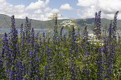 Blueweed (Echium vulgare) flowers, Armenia