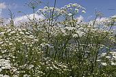 Astrodaucus (Astrodaucus orientalis) flowers, Lake Sevan, Armenia.