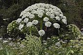 Downy Cow-Parsnip (Heracleum trachyloma) flwers, Armenia