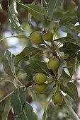 Gergeranian Pear (Pyrus gergerana), Armenia
