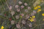 Malabaila (Malabaila dasyantha) seeds, Armenia.