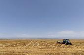 Wheat growing in eastern Georgia.