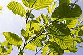 Megrelian Birch (Betula megrelica), leaves and fruits. 2025 m, Migaria Mountain, Georgia