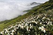 Caucasian Rhododendron (Rhododendron caucasicum), Georgia