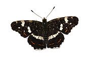 Map Butterfly (Araschnia levana) on white background, Lot, France