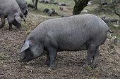"Pigs ""Pata negra"" in an oak grove. Spain"