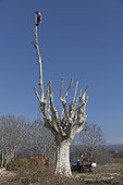 Pruning of a plane tree (Platanus sp), Provence France.