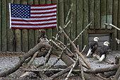 Bald eagle (Haliaeetus leucocephalus) in captivity. american national symbol bird with flag, florida, usa