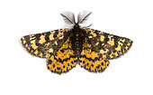 Crowned Moth (Eurranthis plummistaria) male on black background, Saumane, Provence, France