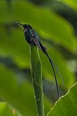 Black-billed Streamertail (Trochilus scitulus) on a leaf, Jamaica