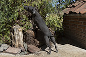 Mexican Hairless Dog, Mexico.