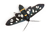 Ragusa's nine-spotted moth (Amata marjana) on white background, Macuègne, Haute Provence, France