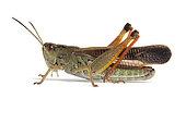Grasshopper (Stauroderus scalaris) on white background, Macuègne, Haute- Provence, France