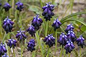 Dark Grape Hyacinth (Muscari commutatum), Peloponnese, Greece.
