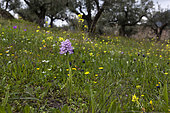 Naked man orchid (Orchis italica), Peloponnese, Greece.