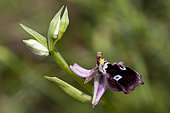 Reinhold's Bee Orchid (Ophrys reinholdii), Peloponnese, Greece.
