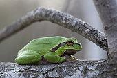 Tree frog (Hyla arborea), Peloponnese, Greece.