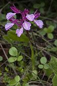Pink Butterfly Orchid (Anacamptis papilionacea) flowers, Peloponnese, Greece.