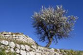Almond tree (Prunus dulcis) in bloom and old wall, Peloponnese, Greece.