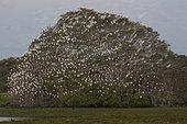 Dormitory of Egrets and Herons, Pantanal, Mato Grosso do Sul, Brazil