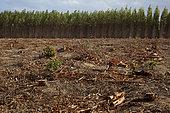 Clearcut of an Eucalyptus plantation. Santa Cruz, Espiritu Santo, Brazil