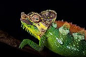 Mount Elgon chameleon (Trioceros hoehnelii altaeelgonis)